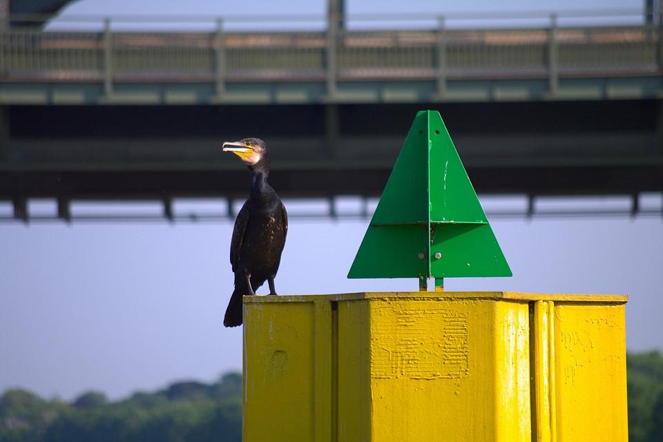 Rheinvogel