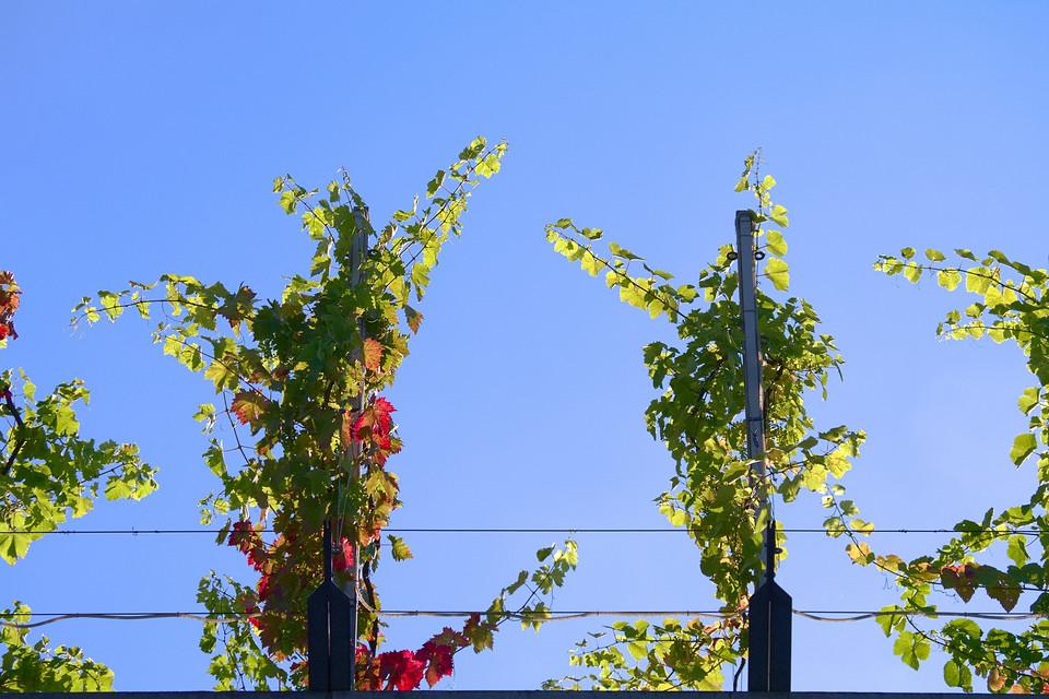 Kölner Wein