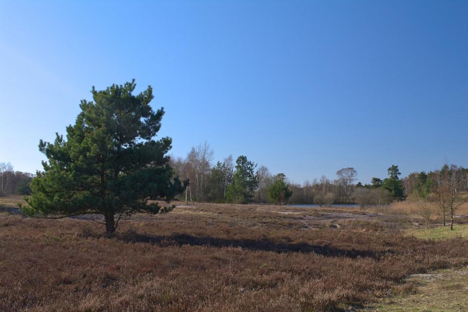 Tanne in der Heide