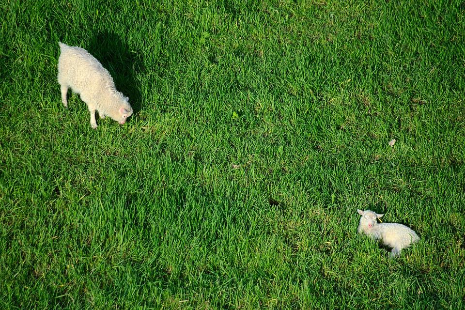 Schafe auf den Kölner Rheinwiesen